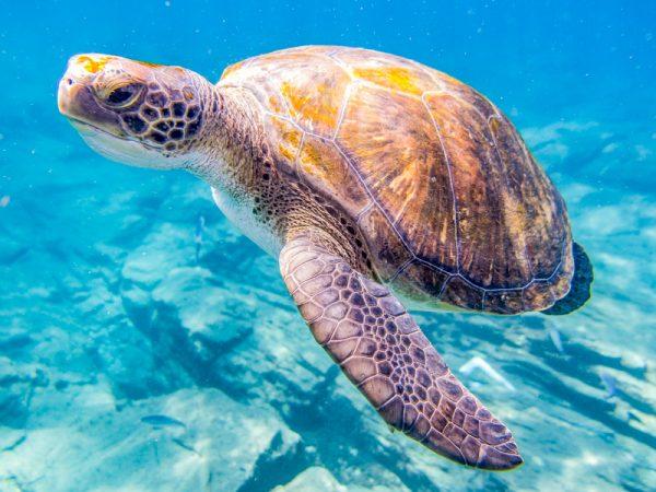 Nurkowanie na Teneryfie - żółw
